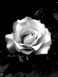 rosa con nome