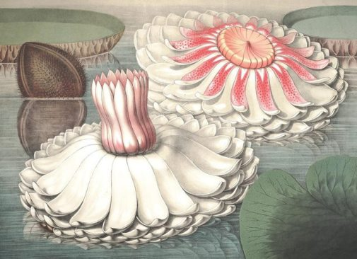 William Sharp (1803–1875) from 'Victoria regia, or, The great water lily of America' , text by John Fisk Allen (Boston, 1854).jpg