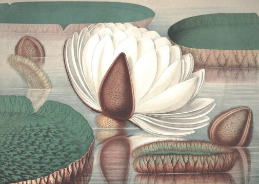 william-sharp-1803-1875-from-victoria-regia-or-the-great-water-lily-of-america-text-by-john-fisk-allen